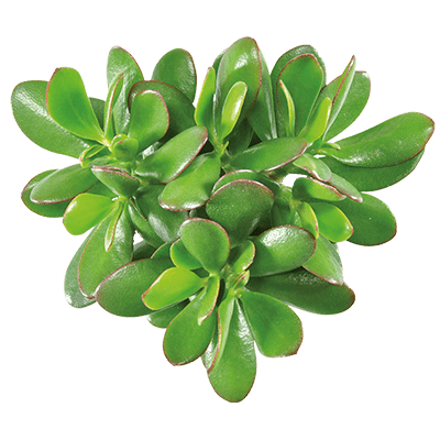 Crassula-magical-tree-kwekersrecht-ovata