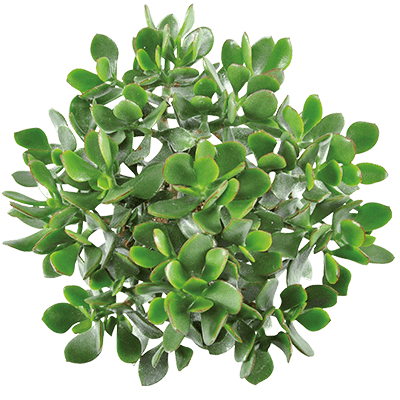 Crassula-minova-magic-kwekersrecht-ovata