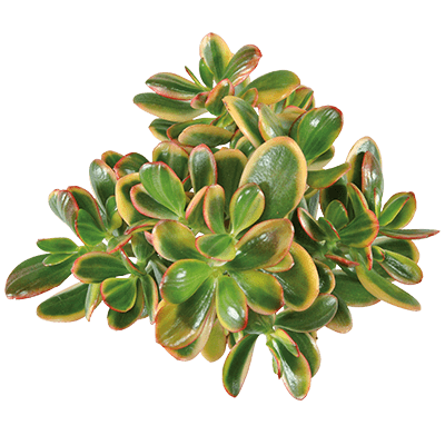 Crassula-sunset-magic