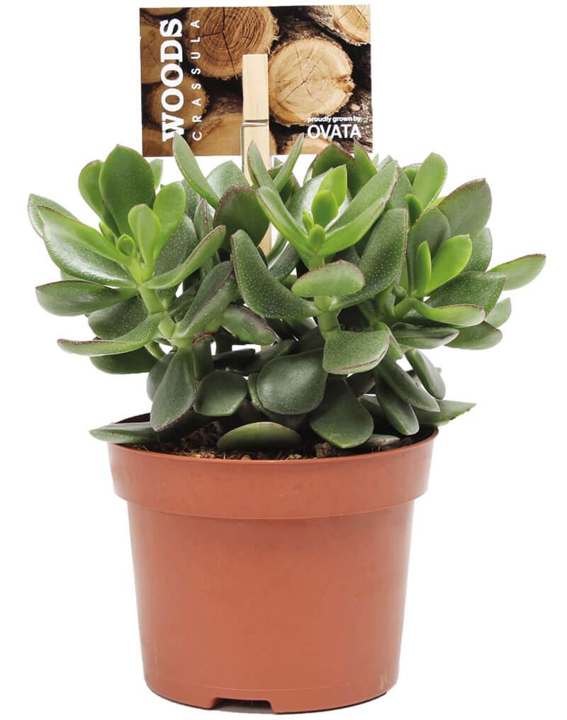 Crassula-hulk-with-woods-etiket